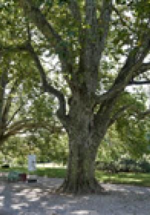 photographie d'un arbre illustrant le sentier culturel